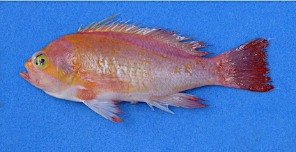 Pseudanthias emma 107 mm SL male holotype copie
