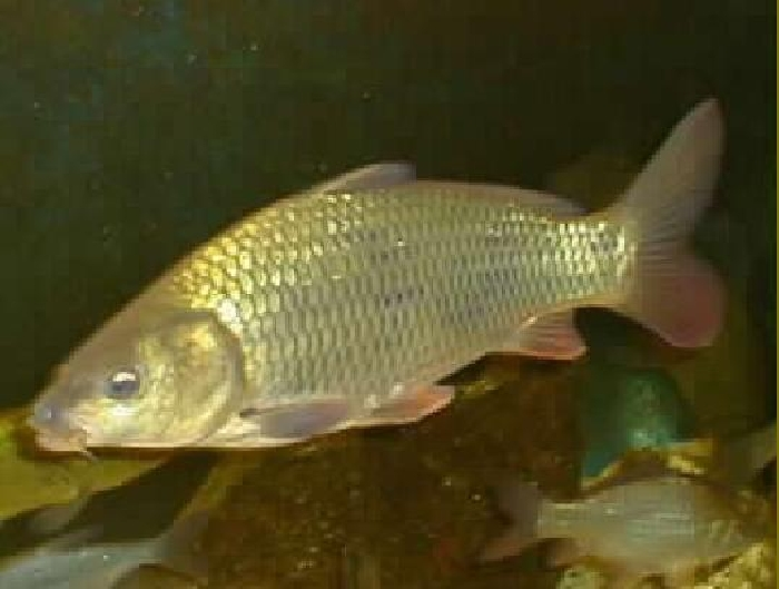 Cyprinus carpio - Carpe commune