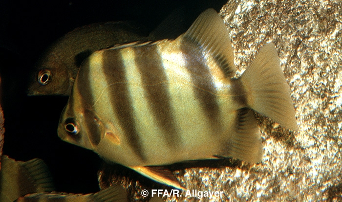 Scatophagus tetracanthus -