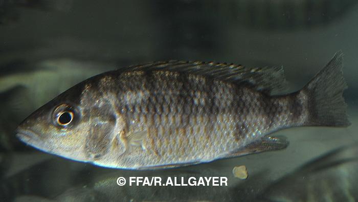 Ctenochromis pfefferi - Ubiquiste Tanganyika