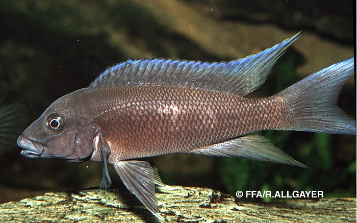 Neolamprologus christyi -