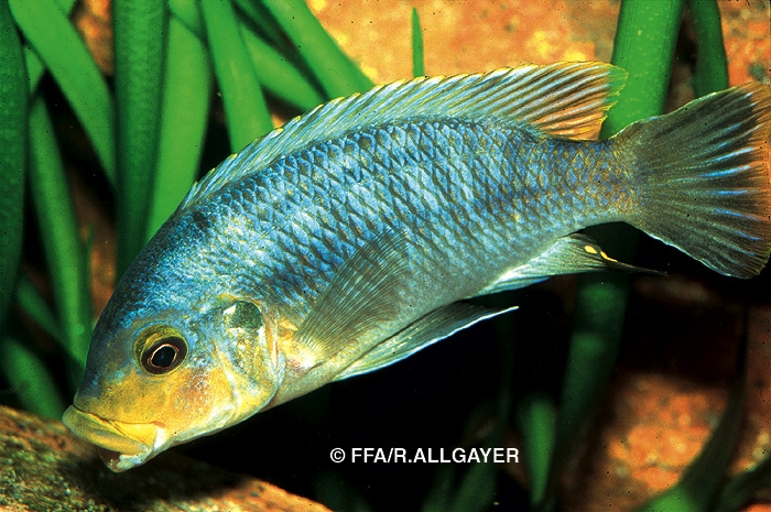 Petrotilapia sp Yellow Chin -