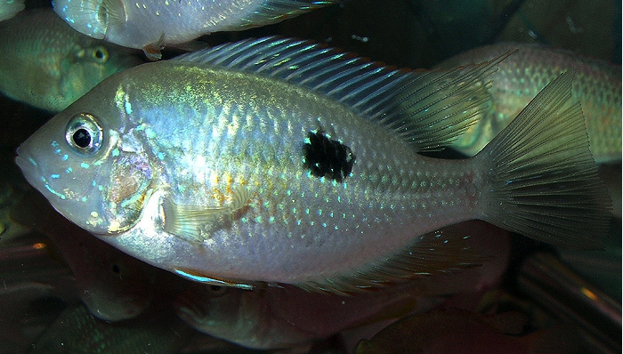 Thorichthys maculipinnis femelle -