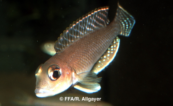 Neolamprologus meleagris -