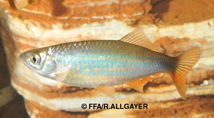 Devario assamensis -