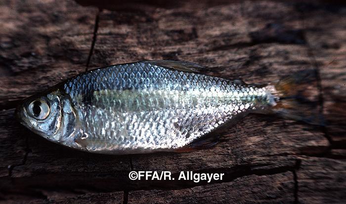 Astyanax fasciatus