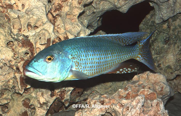 Buccochromis lepturus mâle