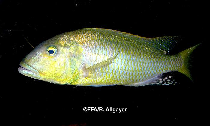 Buccochromis rhoadesii mâle