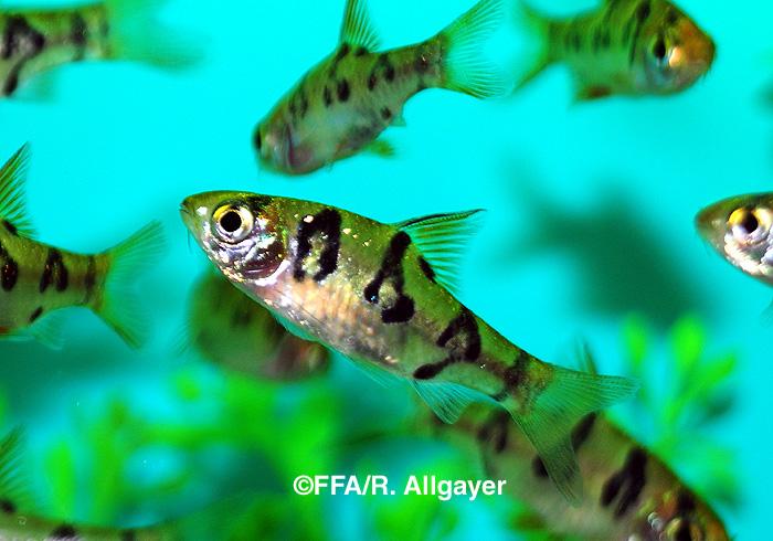 Barbus rhomboocellatus