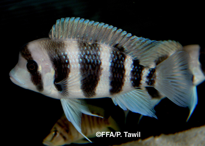 Cyphotilapia sp. North juvénile