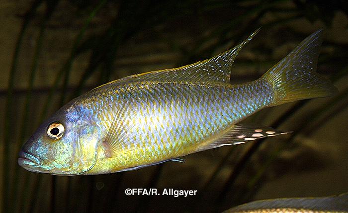 Buccochromis spectabilis mâle