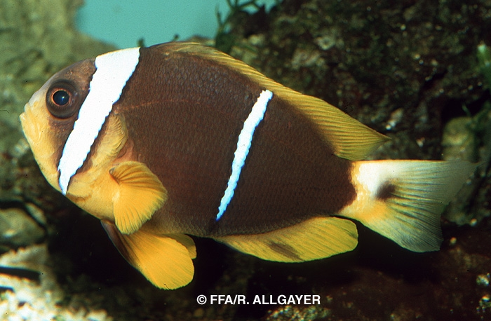 Amphiprion chrysopterus -