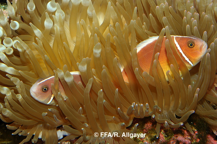Amphiprion perideraion -