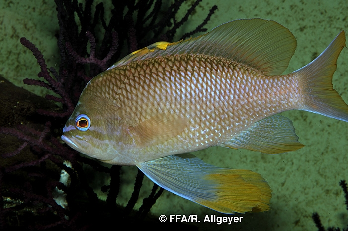 Anthias anthias -