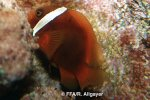 Amphiprion frenatus -