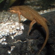 Salamandres et tritons menacés par un champignon pathogène   Lissotriton_vulgaris-fill-222x221