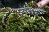 Salamandres et tritons menacés par un champignon pathogène   Triturus_marmoratus-fill-100x65