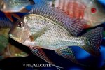Geophagus altifrons -